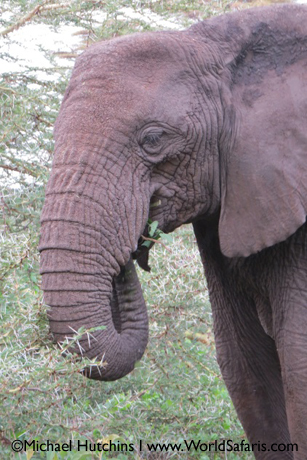 tuskless-elephant-ngorongoro-crater-tanzania-michael-hutchins-l-www-worldsafaris-com_