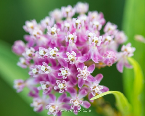 1-tom-hennessy-milkweed-flower