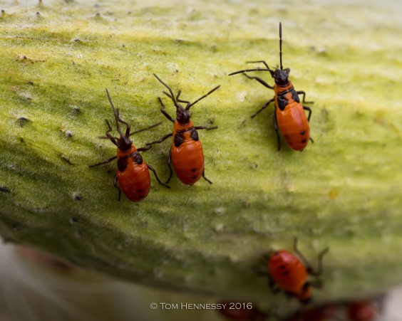 10-tom-hennessy-milkweed-bugs-02