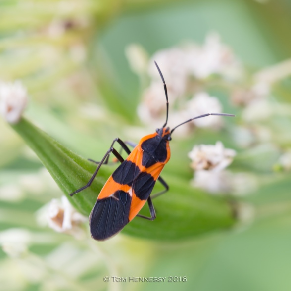 2-tom-hennessy-milkweed-bug-in-summer