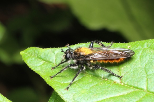 2robberfly