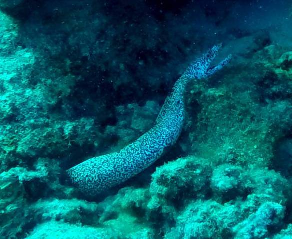 516-gopr0141-spotted-moray-eel