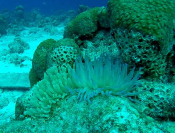 519-gopr0147-sea-anemones