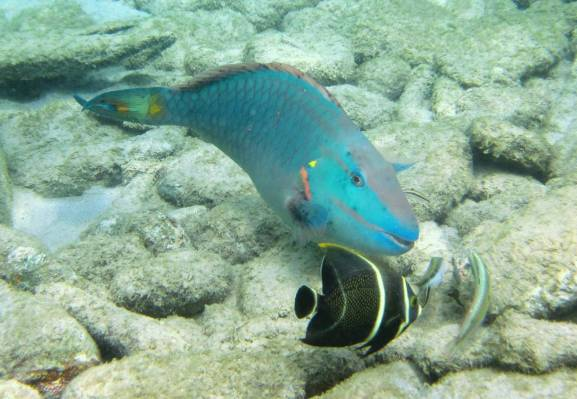 526-img_8294-stoplight-parrotfish-and-juvenile-french-angelfish