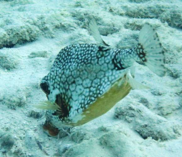 527-img_8299-boxfish