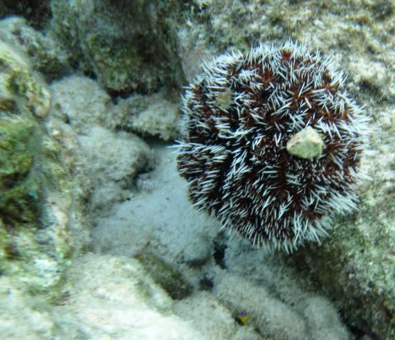 533-img_8458-white-sea-urchin
