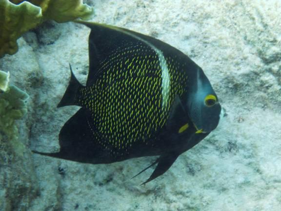 536-img_8464-french-angelfish
