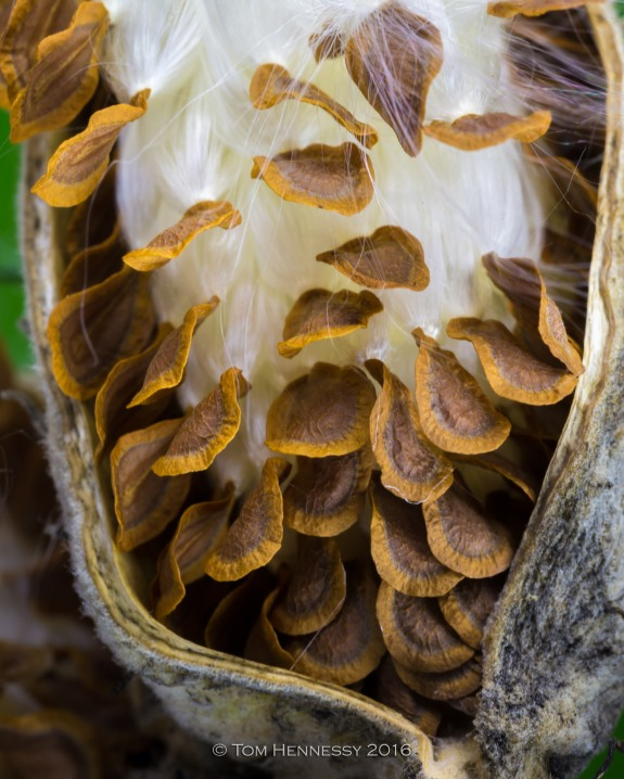 6-tom-hennessy-milkweed-pod-and-seeds