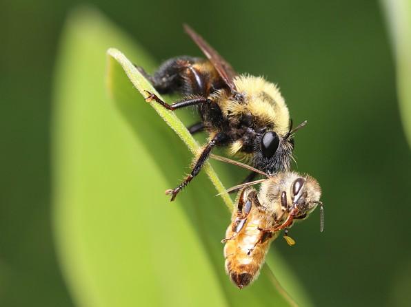 7robberwbee1