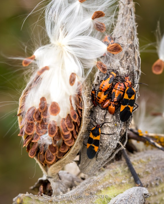 8-tom-hennessy-milkweed-pod-and-bugs