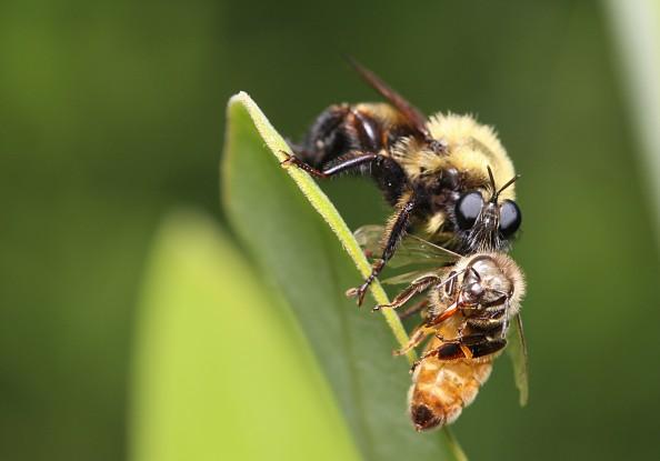 8robberwbee2