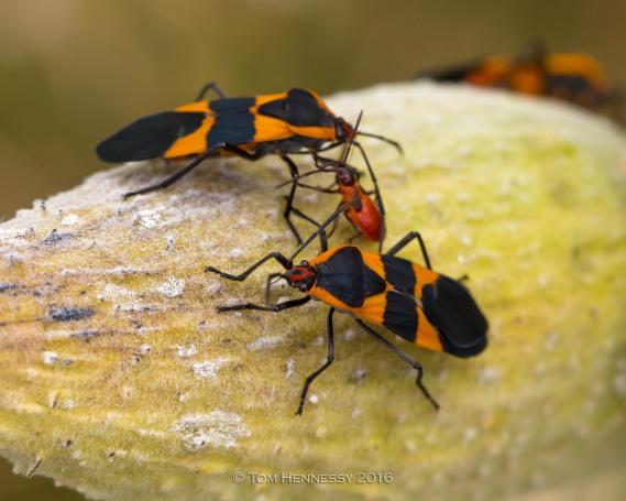 9-tom-hennessy-milkweed-bugs