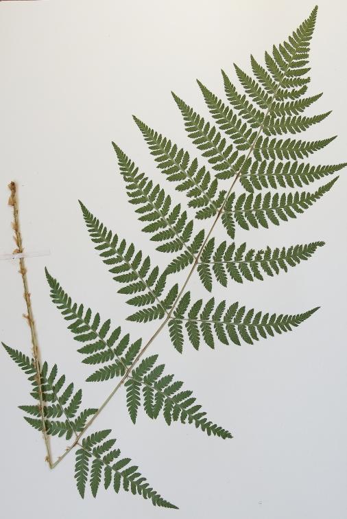 dryopteris-carthusiana-16-4-mlovit-014