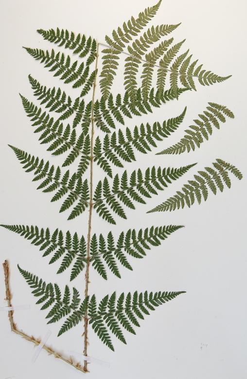 dryopteris-x-triploidea-16-9-mlovit-017