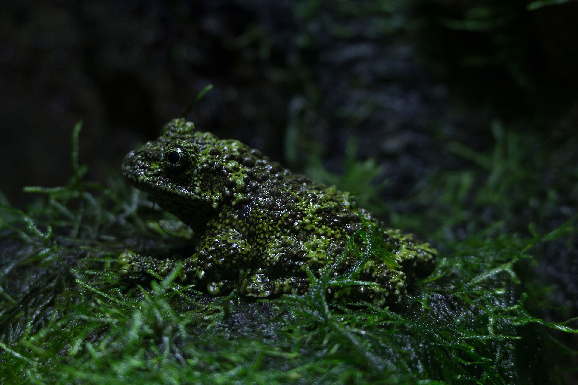 Zsl london vietnamese mossy frog 01 why evolution is true for Frog london