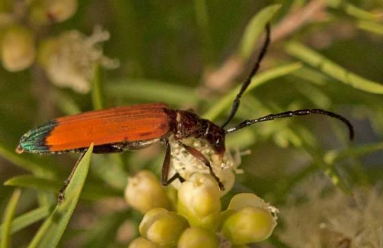3oedemeridae2