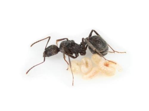 aphaenogaster_senilis-queen