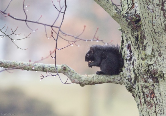 black-eastern-gray-squirrel-%28sciurus-carolinensis%29%2c-sheltered-from-winter-weather%2c-eats-a-nut