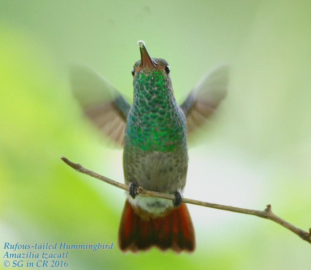 dsc01204-rufous-tailed-hummingbird-%28amazilia-tzacatl%29-outside-my-kitchen-window-share