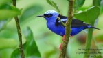 dsc03315-red-legged-honeycreeper-%28cyanerpus-cyaneus%29-share