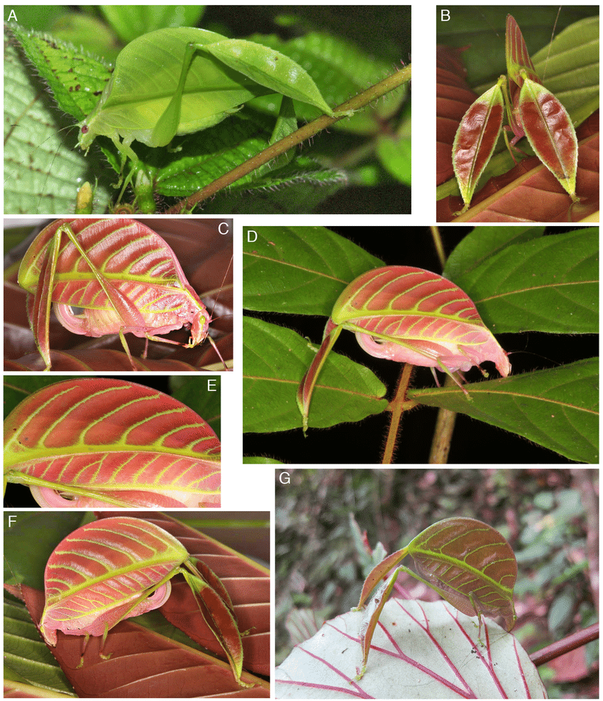 fig-3-eulophophyllum-species-in-habitat-a-d-g-and-sitting-on-red-leaves-b-c-e-f