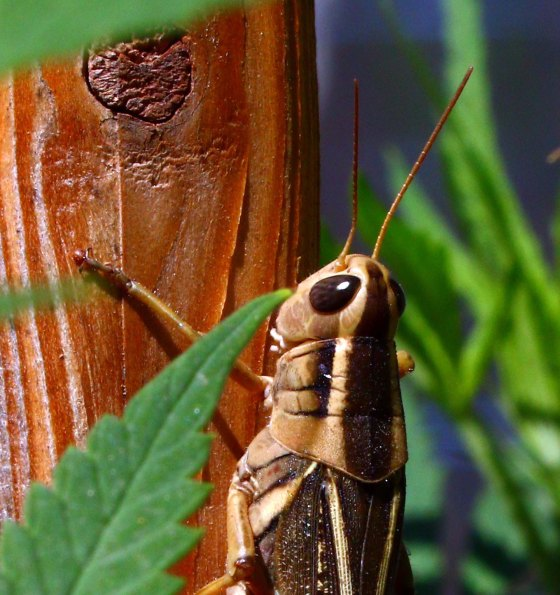 grasshopper-among-cannabis-plants_2016_09_01_9999_too-cropped_2000px