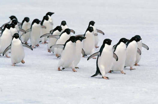 marching-adelie-penguins-lg