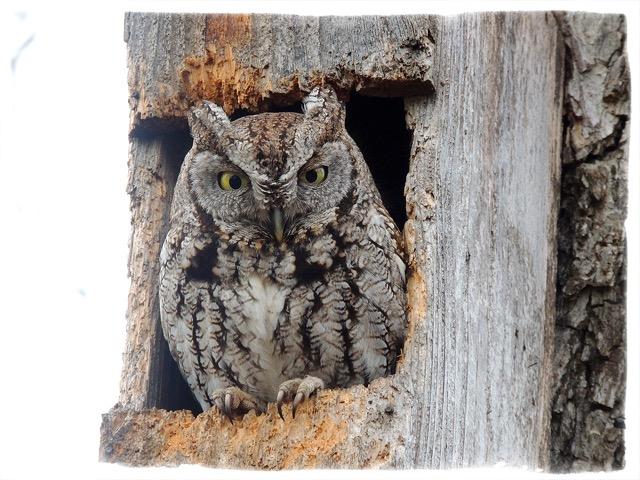 owl031615