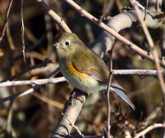 red-flanked-bluetail-good_2016_12_27_9999_49_1600px
