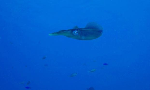 reef-squid