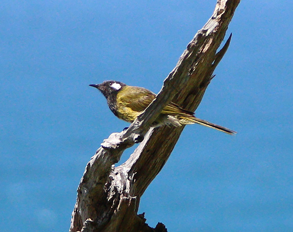 2017-02-08-white-cheeked-honeyeater-apollo-bay