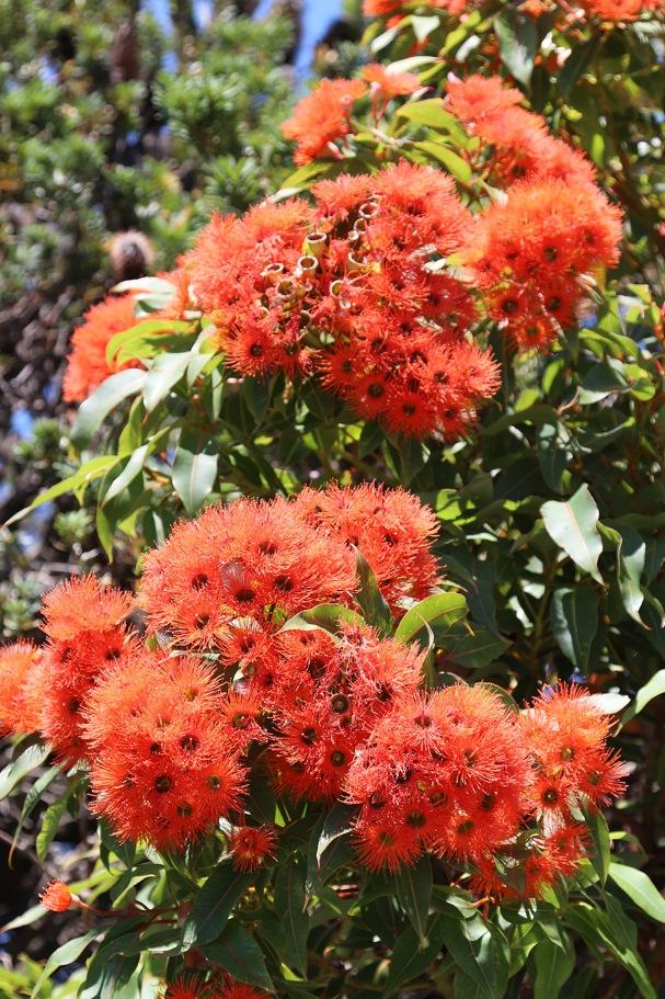 2917-02-08-corymbia-ficifolia-apollo-bay