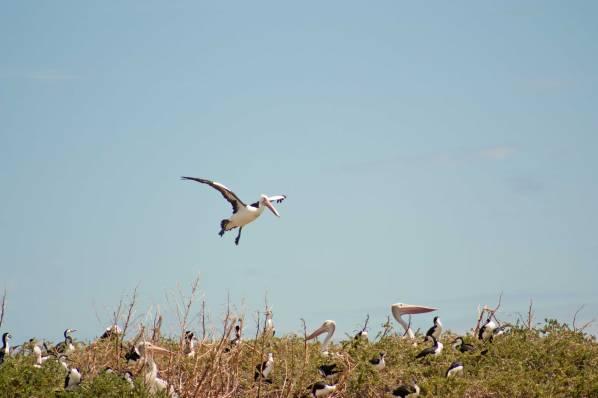 2australian-pelican