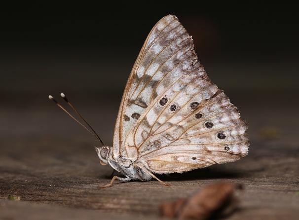 4emperorbutterfly