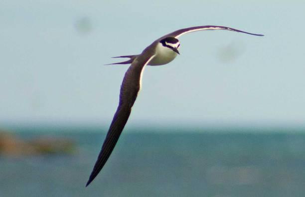 5bridled-tern1
