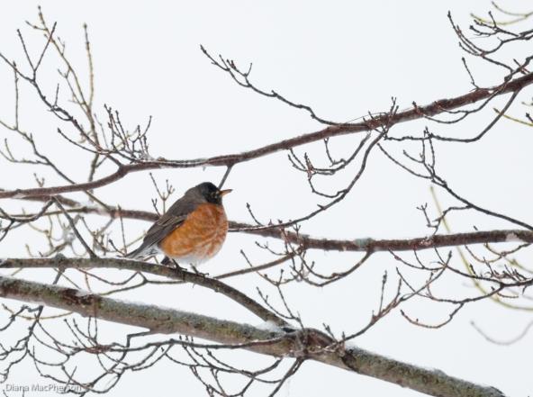 American Robin (Turdus migratorius) that Didn't Migrate