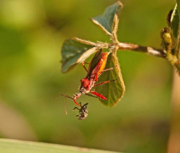 assassin-bug-vs-beetle-larvae