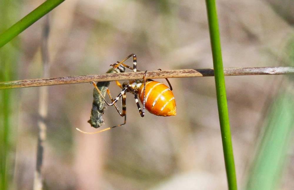 assassin-bug-vs-caterpillar