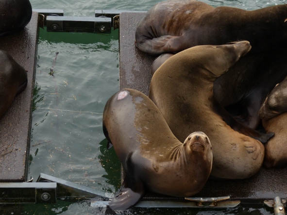 california-sea-lions%2c-newport-or%2c-waterfront%2c-13-dec-2016-%28110%29