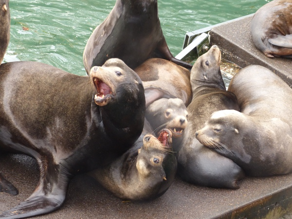 california-sea-lions%2c-newport-or%2c-waterfront%2c-13-dec-2016-%28222%29