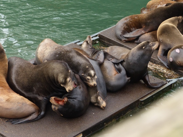 california-sea-lions%2c-newport-or%2c-waterfront%2c-13-dec-2016-%28238%29