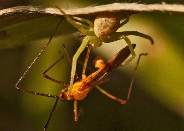 crab-spider-vs-bug