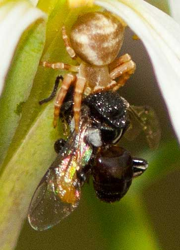 crab-spider-vs-stingless-bee