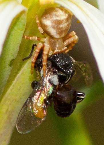 crab-spider-vs-stingless-bee