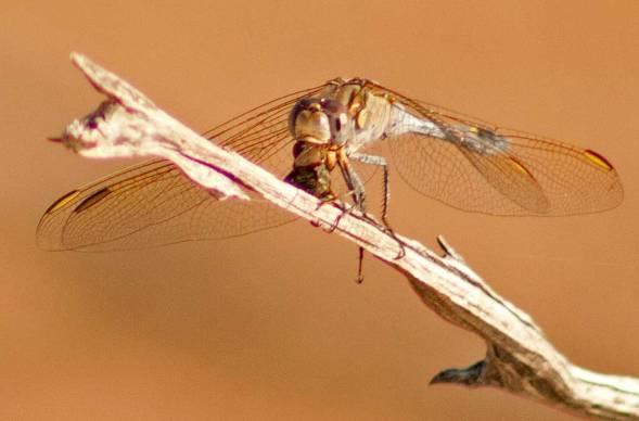 dragonfly-vs-fly