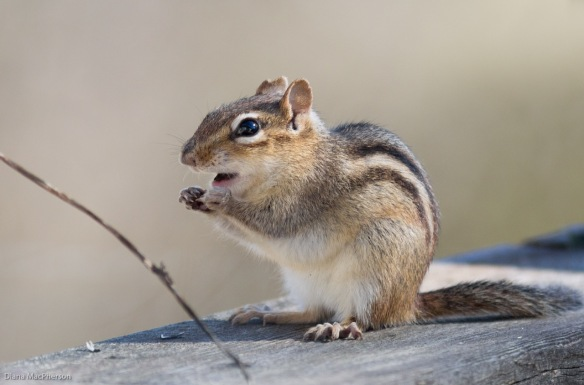 eastern-chipmunk-%28tamias-striatus%29-opens-mouth-for-seed