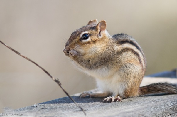 eastern-chipmunk-%28tamias-striatus%29-seems-to-whisper-something