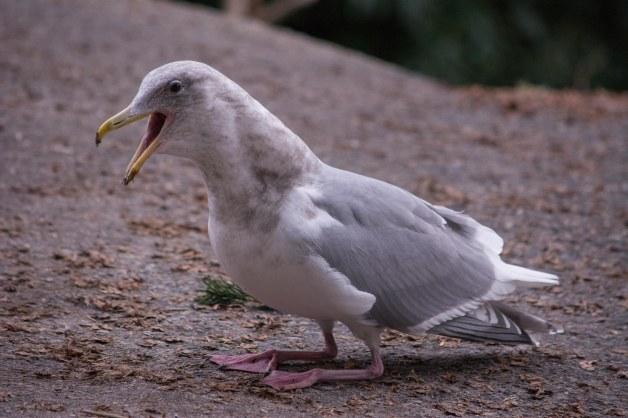 gwgull-mock-nesting