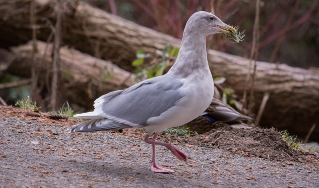 gwgull-with-nesting-material
