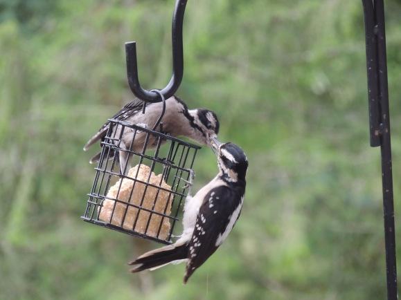 kleinknecht-woodpecker